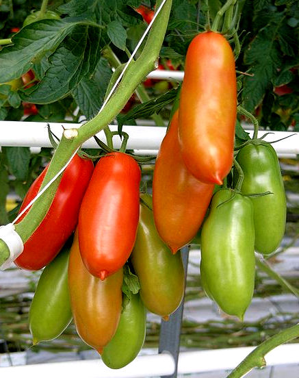 San Marzano Tomatoes Naples, Italy