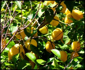 Fresh Lemons for Limoncello