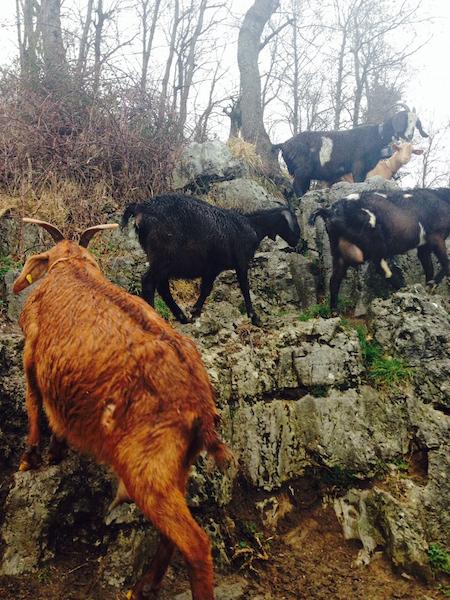 Agerola_Goats