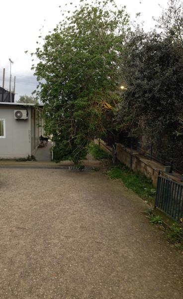 Albero nel viale di ingresso di Porta Stabia